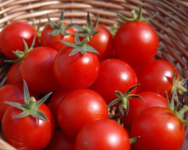 cultivar-tomates-600x480